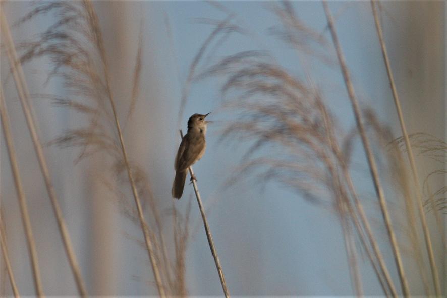 In Padule scomparsa una specie rara di uccello